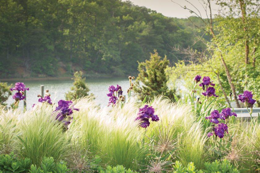 Purple Cherry Architects - Flowering plant
