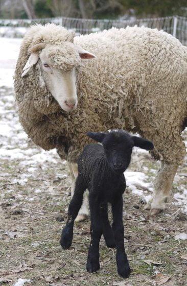 Sheep - Lamb and mutton